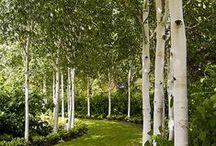 Pl : Aspen & Birch trees