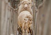 Sheeps...