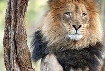 """Lion's ... '(""""?"""")'"""