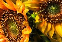 Sunflowers (@.!.@)