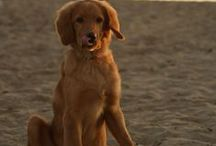 """Hovawart """"Boef"""" - best friend and guard / ...or """"I am no Golden Retriever"""" (""""by far and I will most unexpectedly show you the difference"""")"""