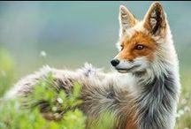 Wild ~ Foxes