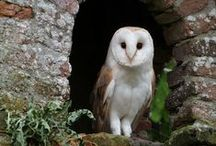 Birds ~ Owls