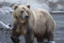Wild ~ Bears
