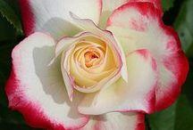 Bonitas rosas / Flores
