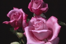 Beautiful Roses in the Garden / by Valerie Christmas