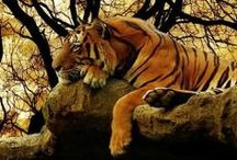 Tiger Pictures / Cool Tiger Pictures