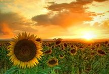 Sunflower (Girasoles)