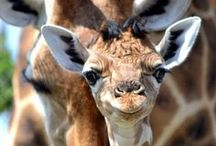 Giraffes / Such sweet and interesting animals.  / by Theresa Shipton