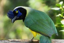 Oiseaux Colombie / Les oiseaux que nous avons pu voir en Colombie et plus particulièrement autour de Santa Marta et Minca, Salento et le désert de Tatacoa.