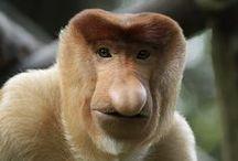 Singes de Bornéo / Découvrez les différentes espèces de singes à observer sur l'île de Bornéo en Indonésie et Malaisie. De belles découvertes à faire lors de votre voyage.