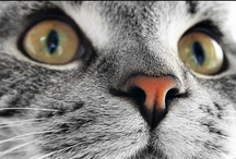 ANIMALS - CATS / Photos of Felines, cat portraits and gift ideas for cat lovers / by Portraits by NC