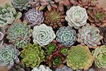 Succulents For Sale / We are a Family run, California Licensed Succulent Nursery specializing in Online Sales of extremely affordable and beautiful succulents and cactus.  We ship out 1000's of succulents every week, all over the country, all year round!  Available for purchase through our Etsy stores, Facebook and our website www.TheSucculentsource.com