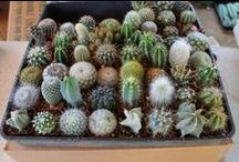 Cactus for Sale / Assortment of cactus available for purchase through our Etsy stores, Facebook and our website TheSucculentsource.com
