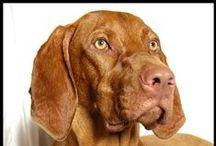 Vizsla: Love / A fun board where we pin photos of our favorite breed - Vizslas!