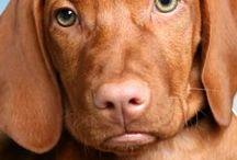 Vizsla: Puppy Love / How can you resist that Vizsla puppy face?