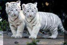 Tijgers en leeuwen. / Mijn lievelingsdier zijn tijgers en leeuwen. Vind die buitengewoon prachtig!!!