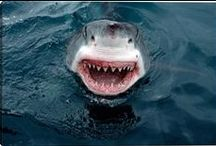 Shark Week / Get Killer Walls with Shark Photography taken by the world's finest photographers.