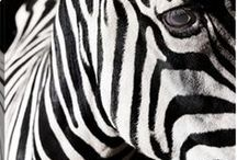 Zebras / Adorned in striking black and white, Zebras are one of the most recognizable animals of the wild. No two zebra patterns are exactly alike. Bring their beauty into your home for a taste of the wild. The sharp contrast of ribboning black and white pairs beautifully with bold, vibrant colors, making for a dynamic statement.
