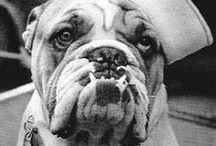 vintage photographs of english bulldog