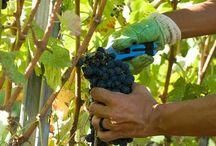 "Valgiano Vineyards  / ""Valgiano"" Vineyards pictures for Lucca Wine Treasures"