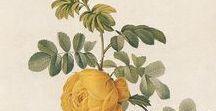"""Botanik Illustration ♥ dhal / Wir lieben den Look dieser Kunstwerke aus der Botanik! So wunderbar filigran gezeichnet, so kunstvoll und hauchzart eingefärbt - einfach wunderbar! Schaut mal in unserer """"Free Printables"""" Pinnwand vorbei: Dort findet ihr auch ein paar aus diesem Bereich! ♥"""