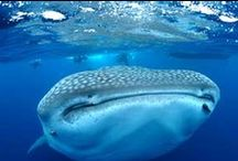 Master of the Ocean / Mistikterra is proud to share with you the extraordinary adventure of meeting one of the most impressive ocean species….the gorgeous whale shark, (which originated 60 millions of years ago) and the largest fish species that crosses the oceans with hypnotizing and smooth movements while filtering its delicious plankton; this plankton can nourish its system to the point to make it grow up to 40 ft in length and weigh up to 13 tons.