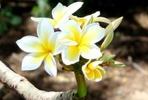 Plumeria / All about beautiful Plumeria (a.k. Frangipani) that reminds me of Hawaii