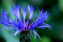 Wildblumen, Kräuter / Pflanzen in Mitteleuropa