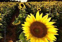 << Sunflowers >>