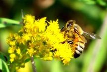 Bees and Bee Keeping Tips / Busy, busy bees! Keep up with ideas and tools for your beehive! How to own bees. Bee keeping. How to be a bee keeper. How to care for bees. Beehive knowledge. Bee keeping hives. Bee keeping for beginners. Bee keeping for beginners DIY.