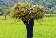 << Food Indonesia >> / Food, farms, and agriculture in Indonesia.