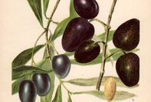 << Olives >> / Please visit @GR2Food Archives @ http://gr2food.com/tag/olives-olive-oil/ to browse our collection covering health and agricultural issues related to olives