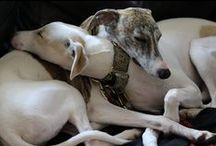 Whippets & Greyhounds / This board is for my Whippets Tansy & Tobias.  They are gentle creatures & wonderful companions to me. I love them both dearly.