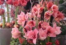 Amaryllis & Flowers / Amaryllis flowers   #RoyalColors, #Amaryllis, #royalcolors.com, #Floral, #Flower, #Bloom, #Beautiful, #Amazing.