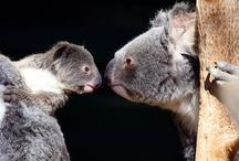 Koalas! / Columbia College Mascot: The Fighting Koala!