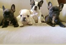 Frenchies <3 / by Crazy Girl