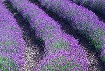 lavender / alles über lavendel...