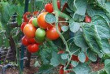 *garden: growing vegetables / tipps für den gemüseanbau im garten