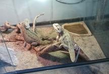 Baardagame / Leuke en lieve diertjes