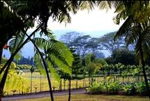 Wood Valley Plantation / The ONLY Hawaiian Certified Mamaki Plantation! Our mamaki only comes from the richest volcanic soil and perfect growing conditions. This is where our mamaki herb is grown and harvested to create the most delicious tea around. Mahalo