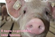 Pigs: Makers of Bacon! / Pork is the #1 consumed meat in the world! What do you know about pigs and pork?