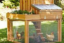 Backyard Chickens / Everything you need, and need to know, for your backyard flock.