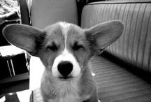 Corgis / Always gets you in a good mood! :)