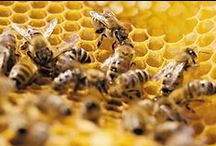 Beekeepingzzzzz / The knowledge and products you need for keeping, caring for, and harvesting the sweet nectar of bees, at home.