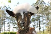 Goats! / Raising goats is an amazing experience! Tractor Supply has everything you need, from fencing and feed to expert advice and funny goat videos. Enjoy!
