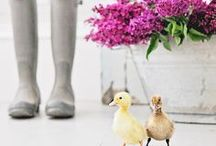 Ducks! / Live ducklings arrive every spring in Tractor Supply stores, but we sell everything you need to raise a backyard flock year-round. Check out our favorite articles, tips and products for raising ducks.