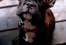 Dagmara D. / Buldog francuski, French buldog, Puppy,