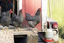 Chickens, Ducks, and Fowl / by Elizabeth Hood {Stubbleduck Farm}