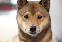 Shiba Inu / Un cane forte e molto sveglio che sa essere vivace e giocoso ma anche molto tranquillo. Sarà un perfetto cane da guardia ma saprà anche essere gentile con amici e bambini. Adatto all'appartamento e alle lunghe passeggiate!
